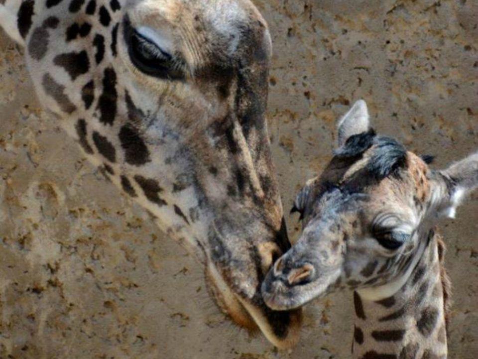 Zoo_SantaBarbaraZoo_BabyMasaiGiraffe.jpg