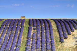 France, Alpes de Haute Provence, Parc Naturel Reginal du Verdon (Natural Regional Park of Verdon), Plateau of Valensole, field of lavander