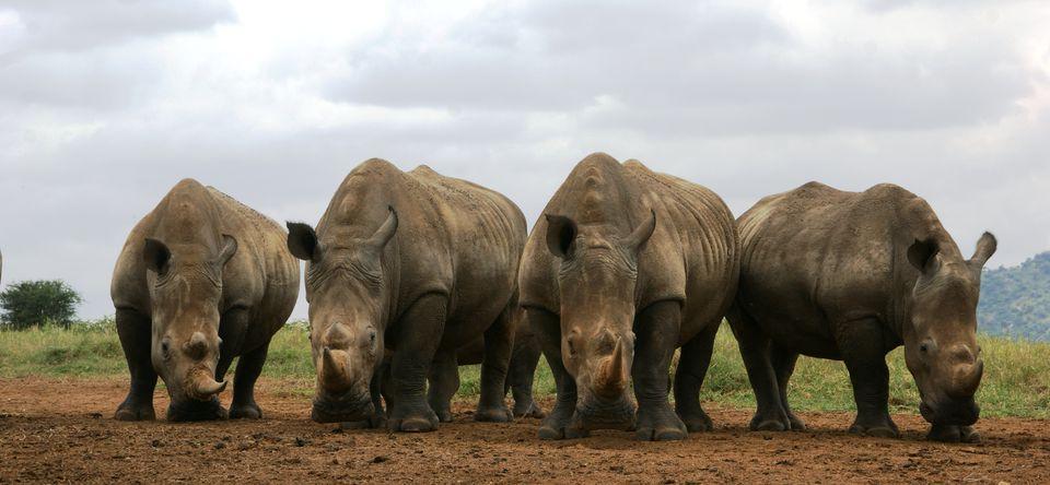 Understanding Africa's Rhino Poaching Crisis
