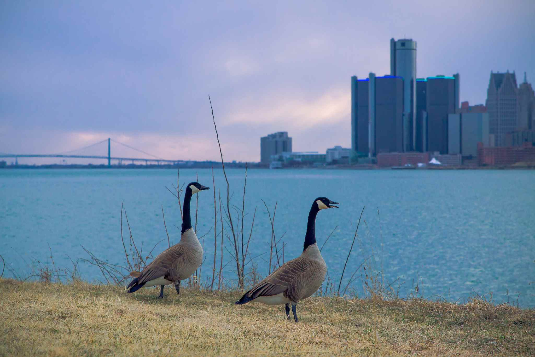 Canada geese, Belle Isle State Park, Detroit.