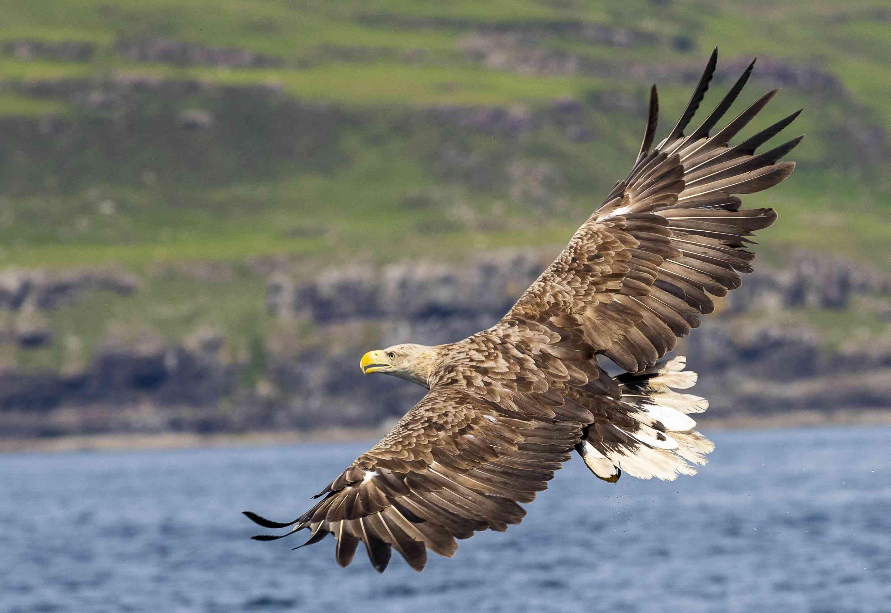 White-tailed sea eagle in flight, Isle of Mull