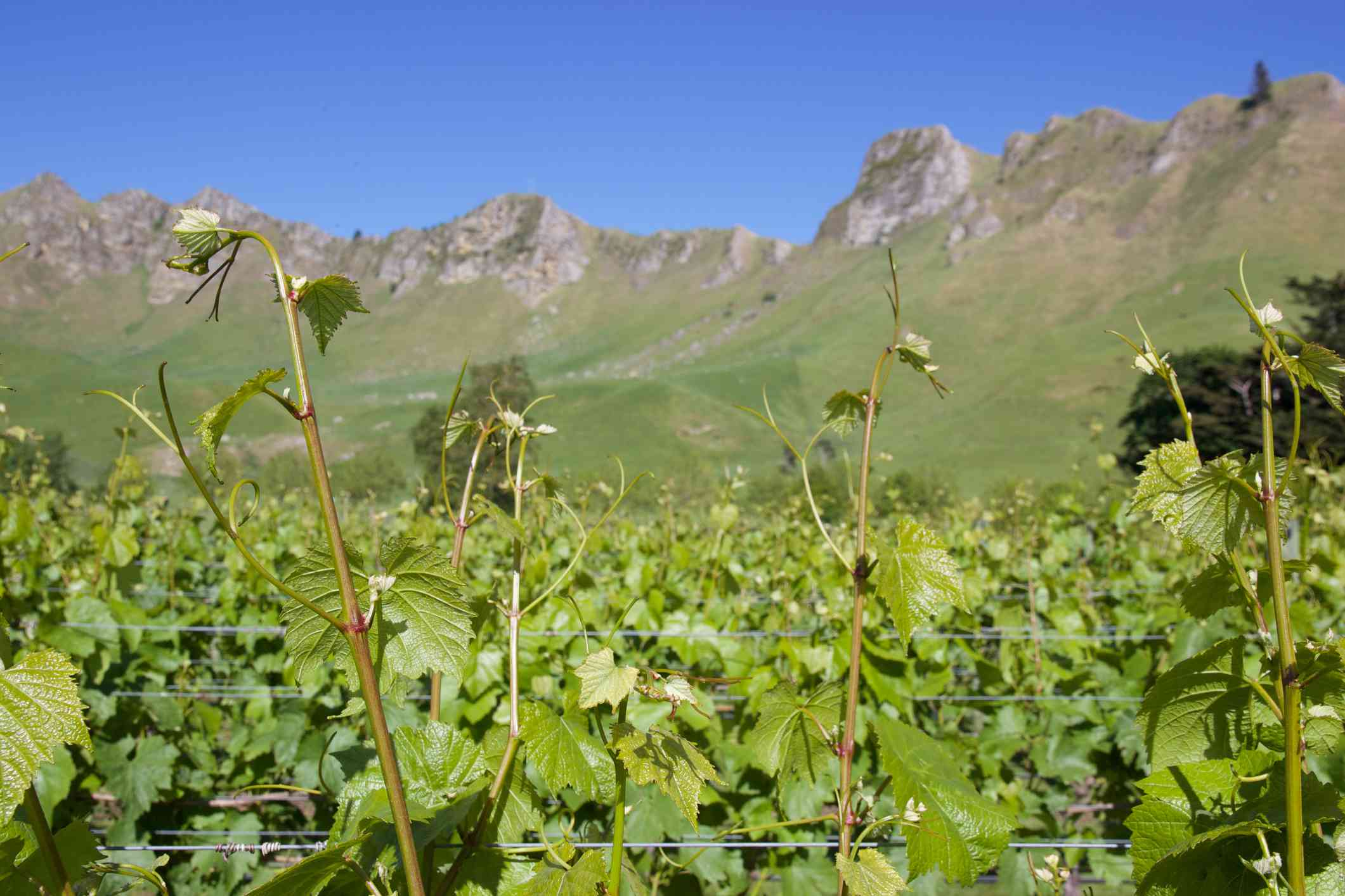 grapevines with rocky cliffs in the background