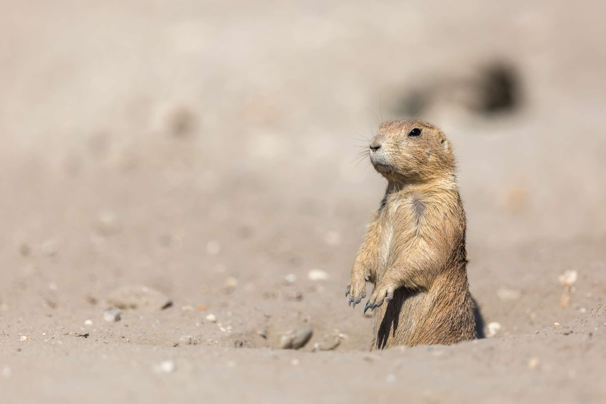 Prairie Dog Standing On Field