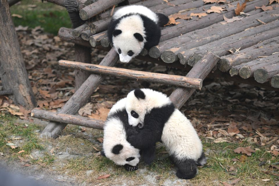Giant Pandas At Play Inside The Chengdu Research Base