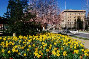Daffodils in downtown. - stock photo
