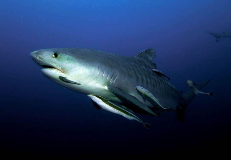 Tiger shark, Aliwal Shoal, South Africa