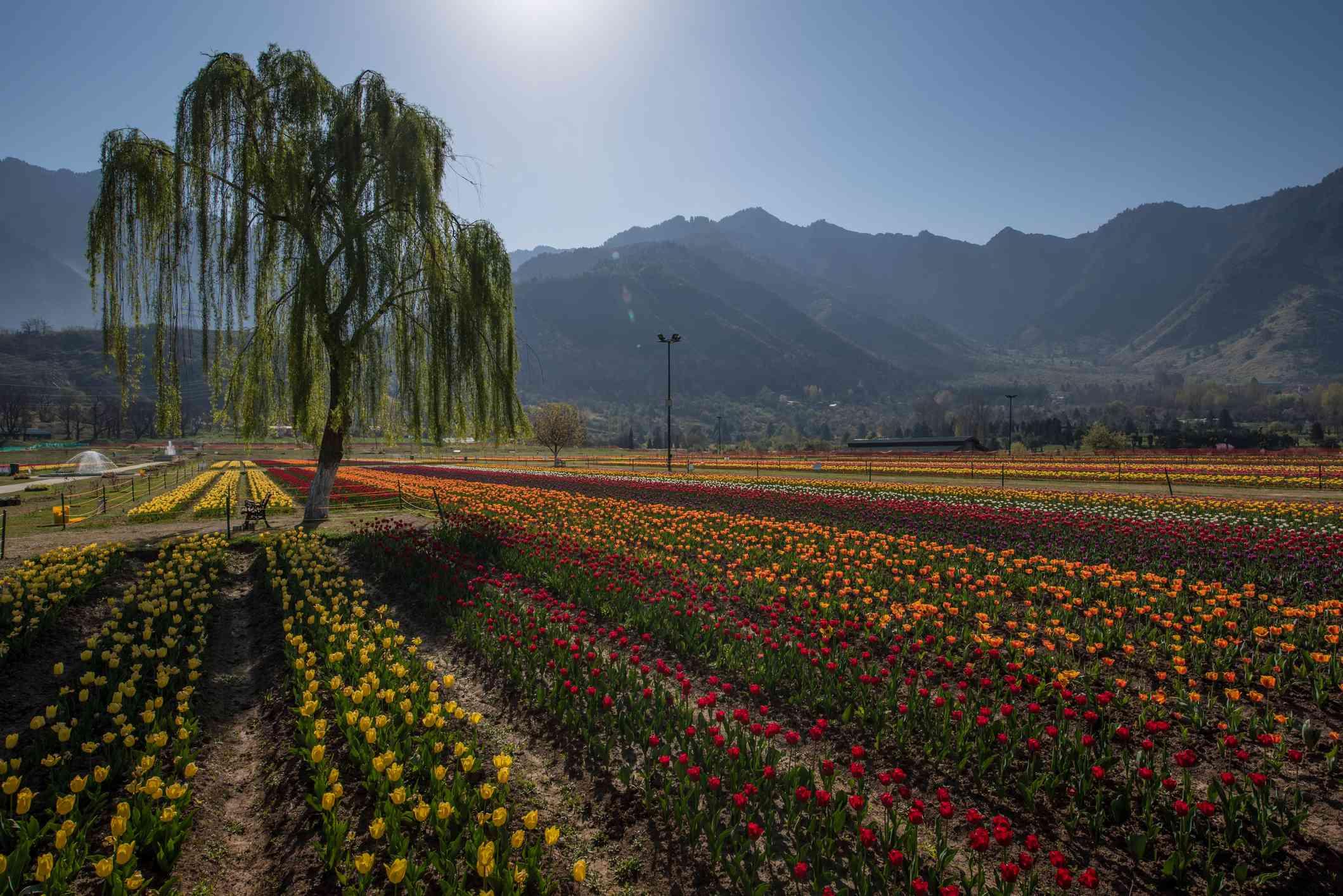 Tulip Garden, Jammu and Kashmir, India