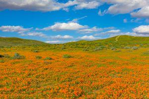California Golden Poppies Antelope Valley,California