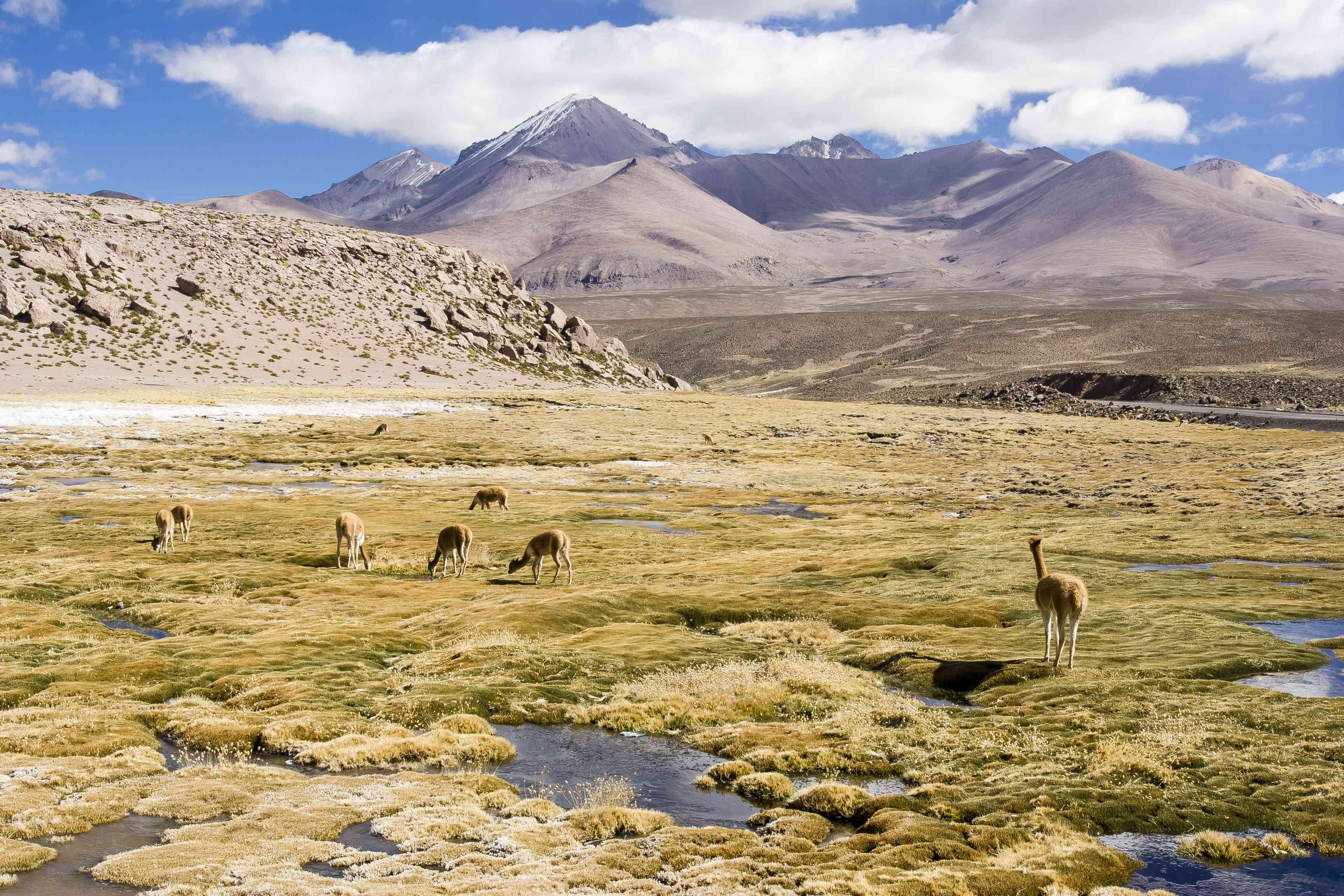 Group of vicuñas (Vicugna vicugna) grazing on a bofedal, Lauca National Park, Arica-Parinacota Region, Chile, South America