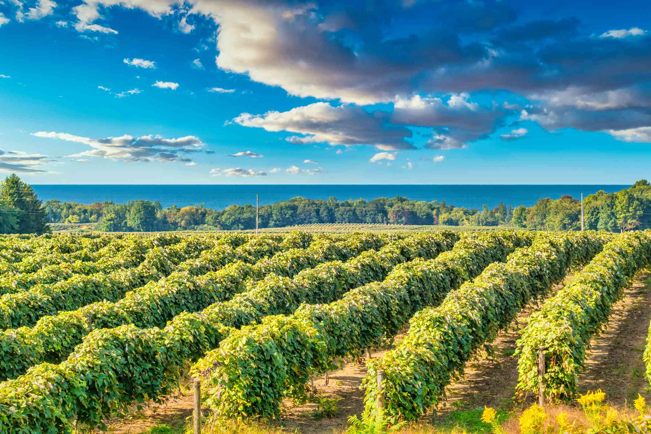 Vineyard on the shores of Lake Erie, Pennsylvania, USA on a sunny day.