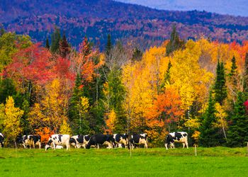 Cows Grazing in Rural Vermont in the Fall