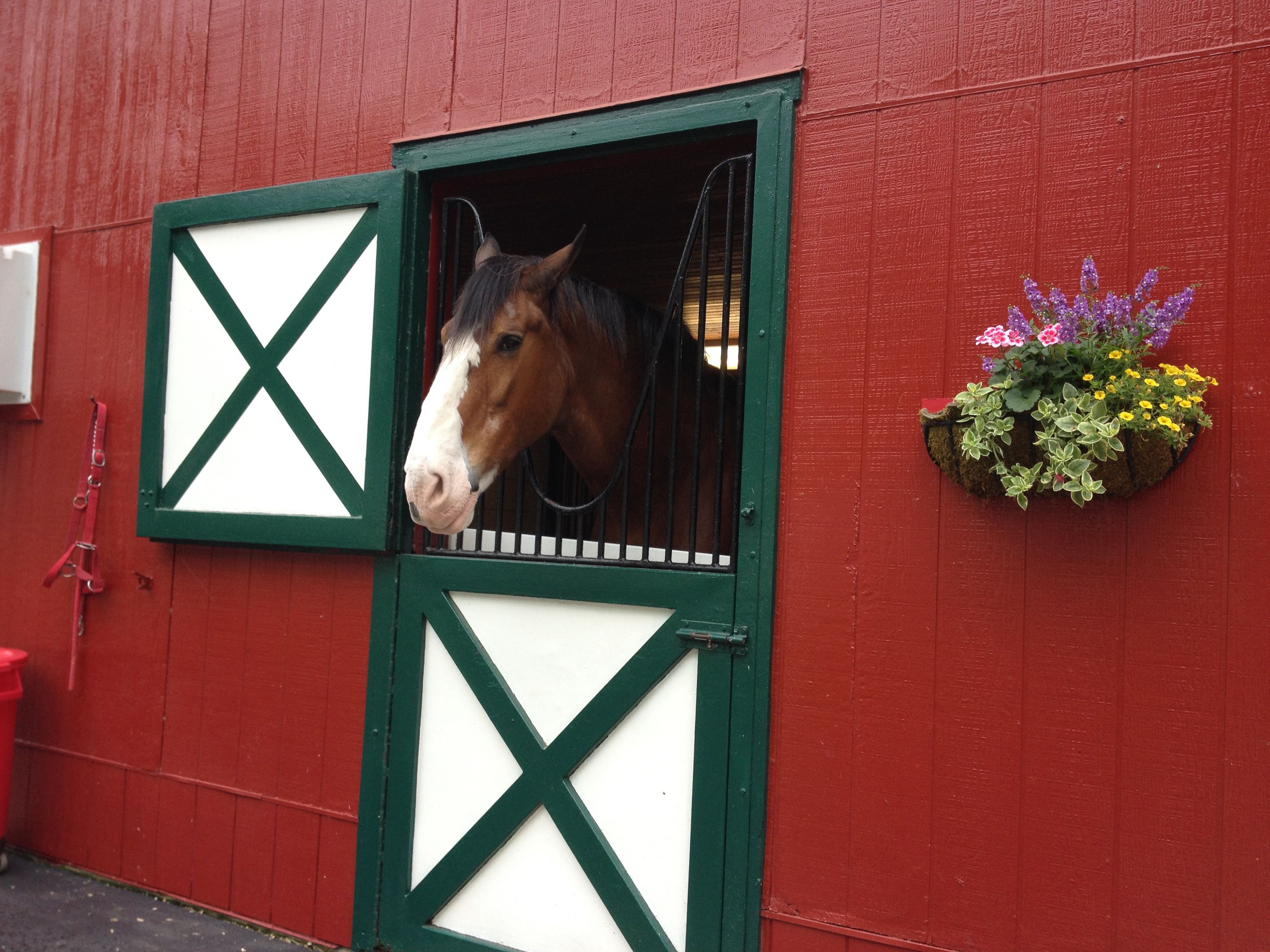 A Clydesdale at Grant's Farm