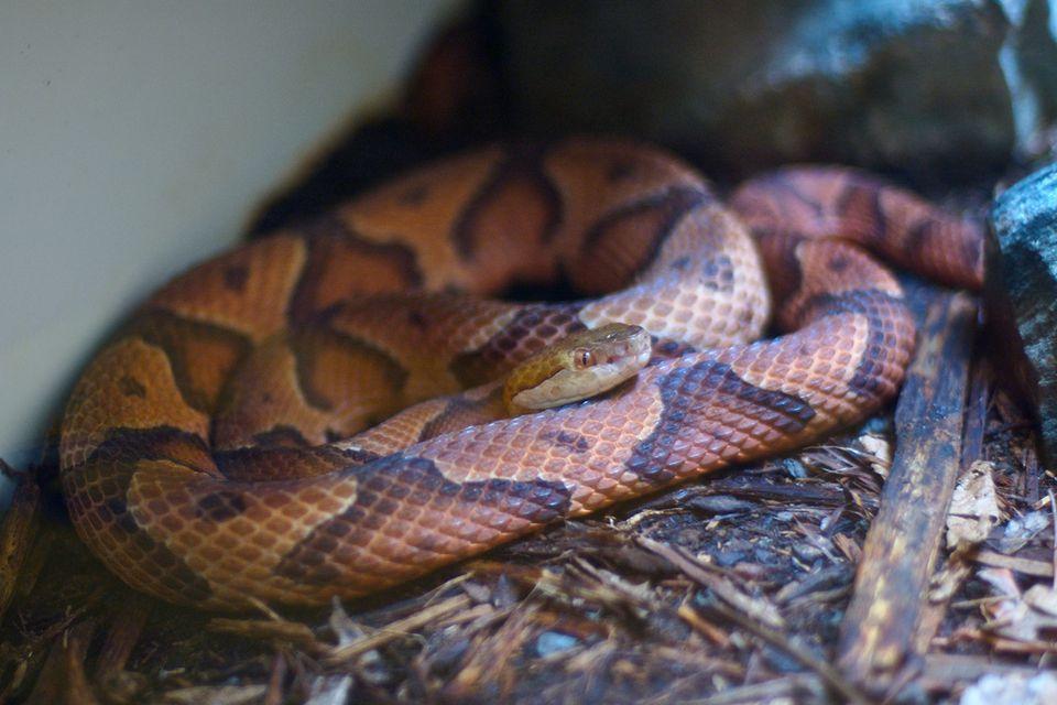 serpiente de cabeza de cobre
