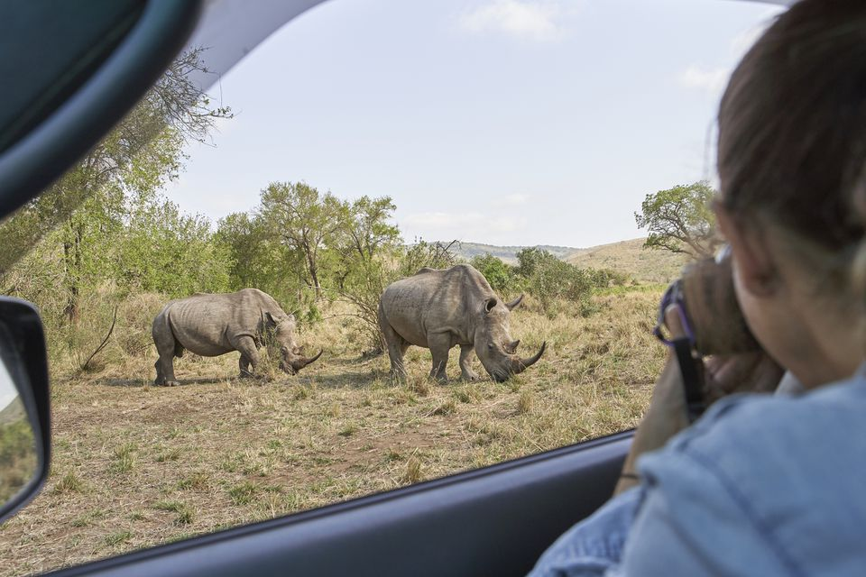 Woman taking a picture of a rhinos out of the car window, Hluhluwe-Imfolozi Park, South Africa
