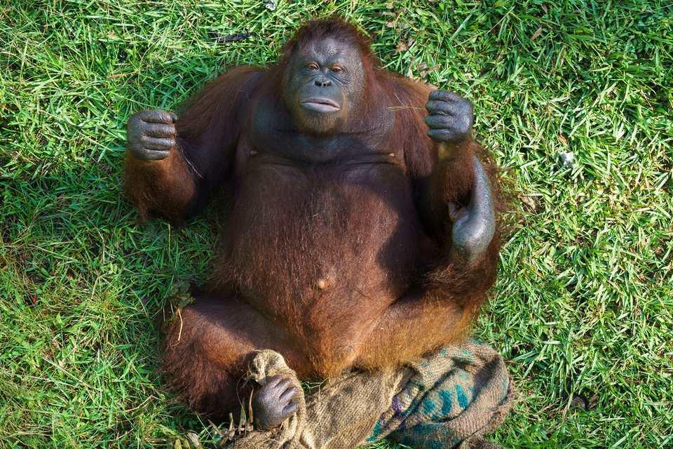 orangutan rescue saving borneos orangutans