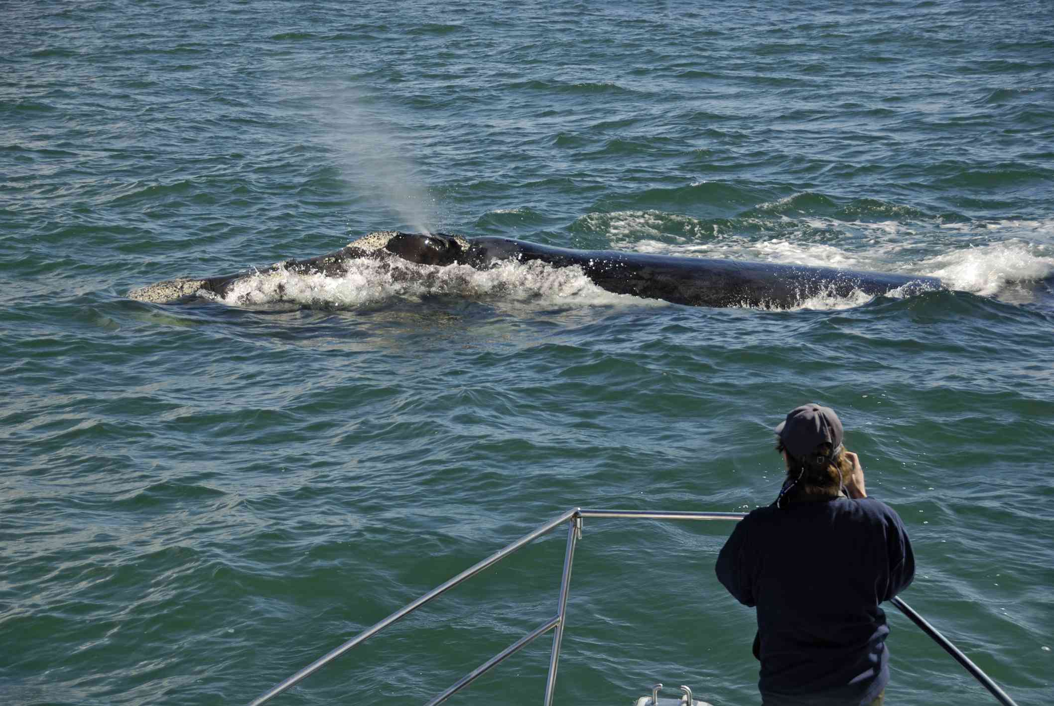 Watching a southern right whale, South Africa