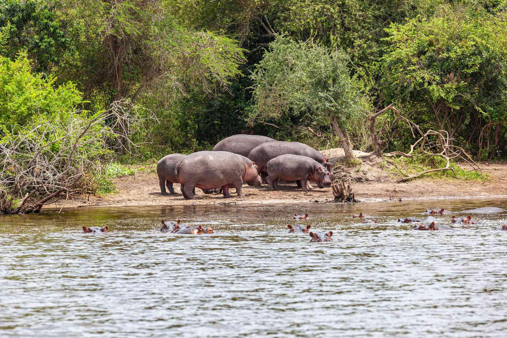 Hippos on the bank of Lake Mburo, Uganda