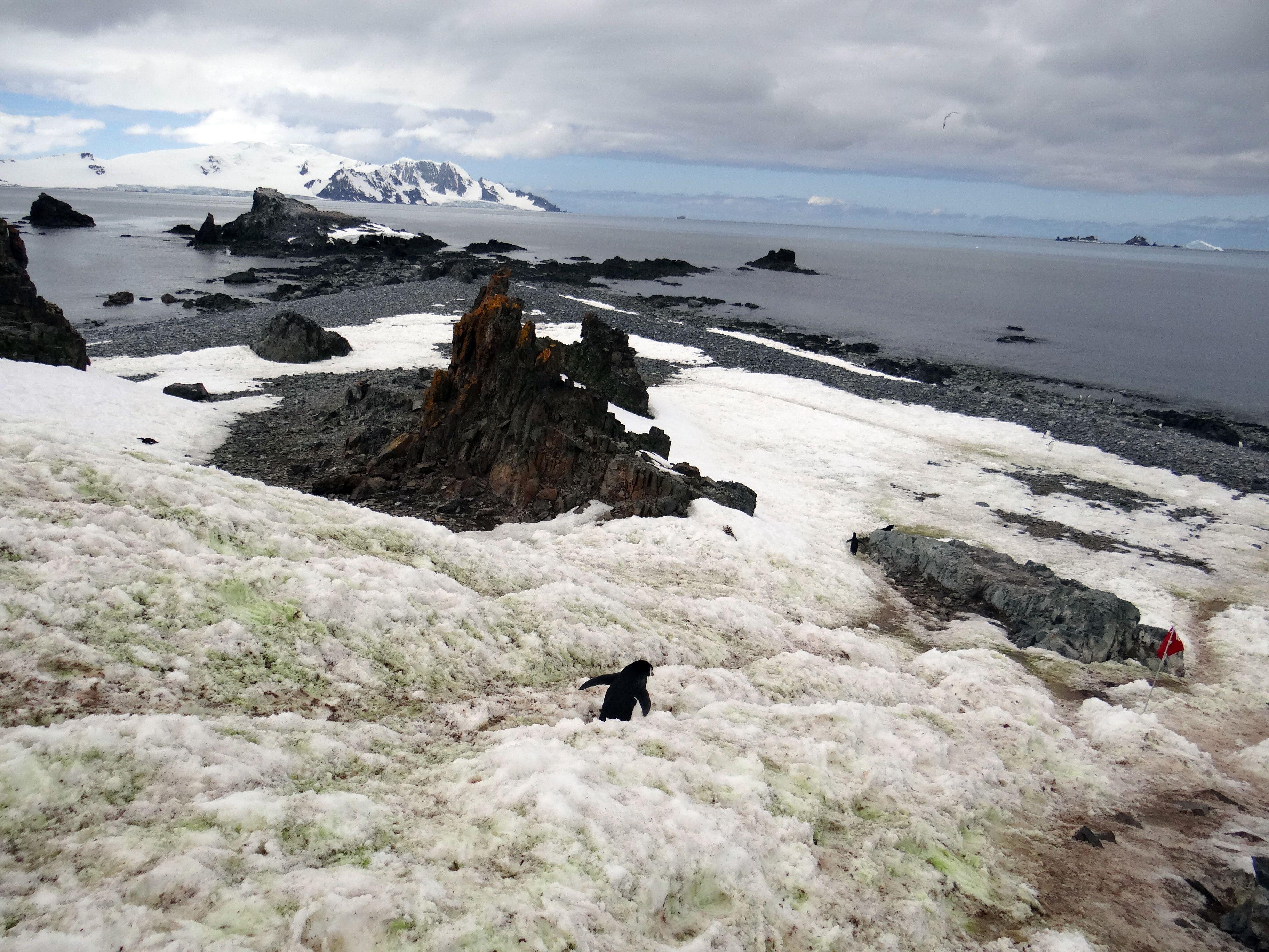 Penguin headed for the sea at Half Moon Island, Antarctica
