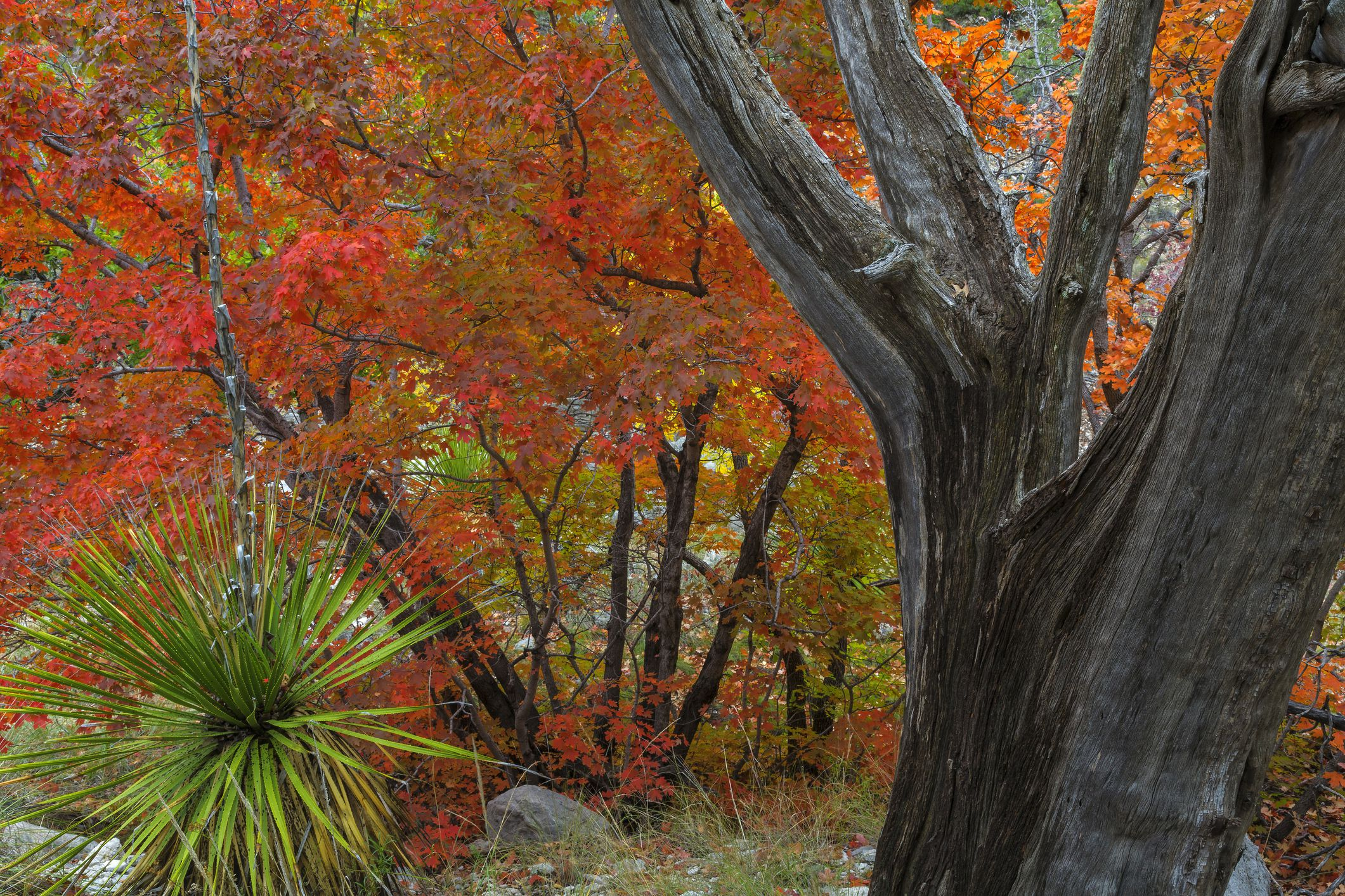 Bigtooth maple and dead juniper tree, Guadalupe Mountains National Park, Texas