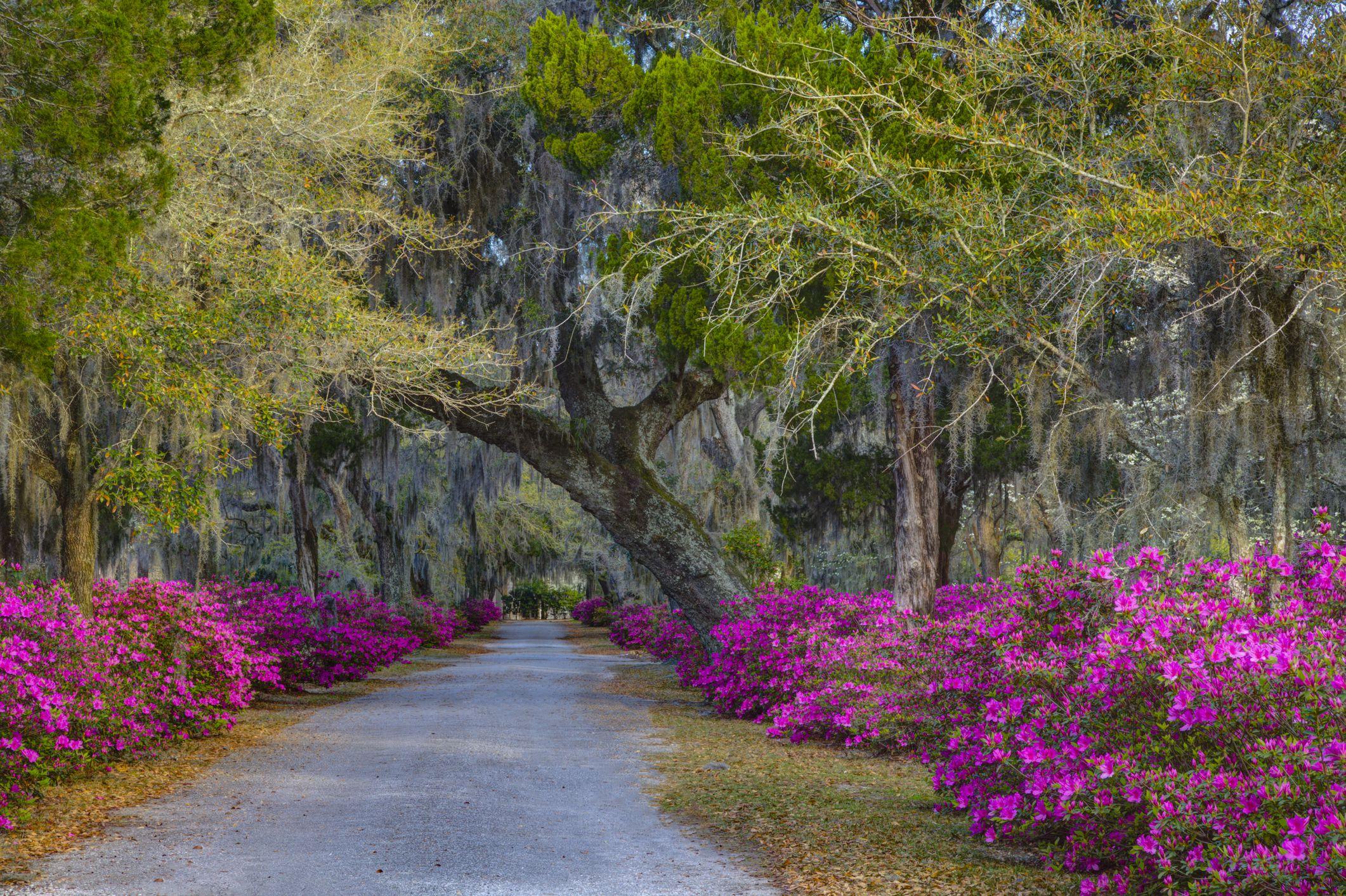 Azaleas blooming at Historic Bonaventure Cemetery, Savannah, Georgia, USA