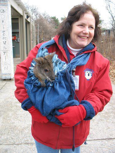 Zoo volunteer totes an injured wallaby.