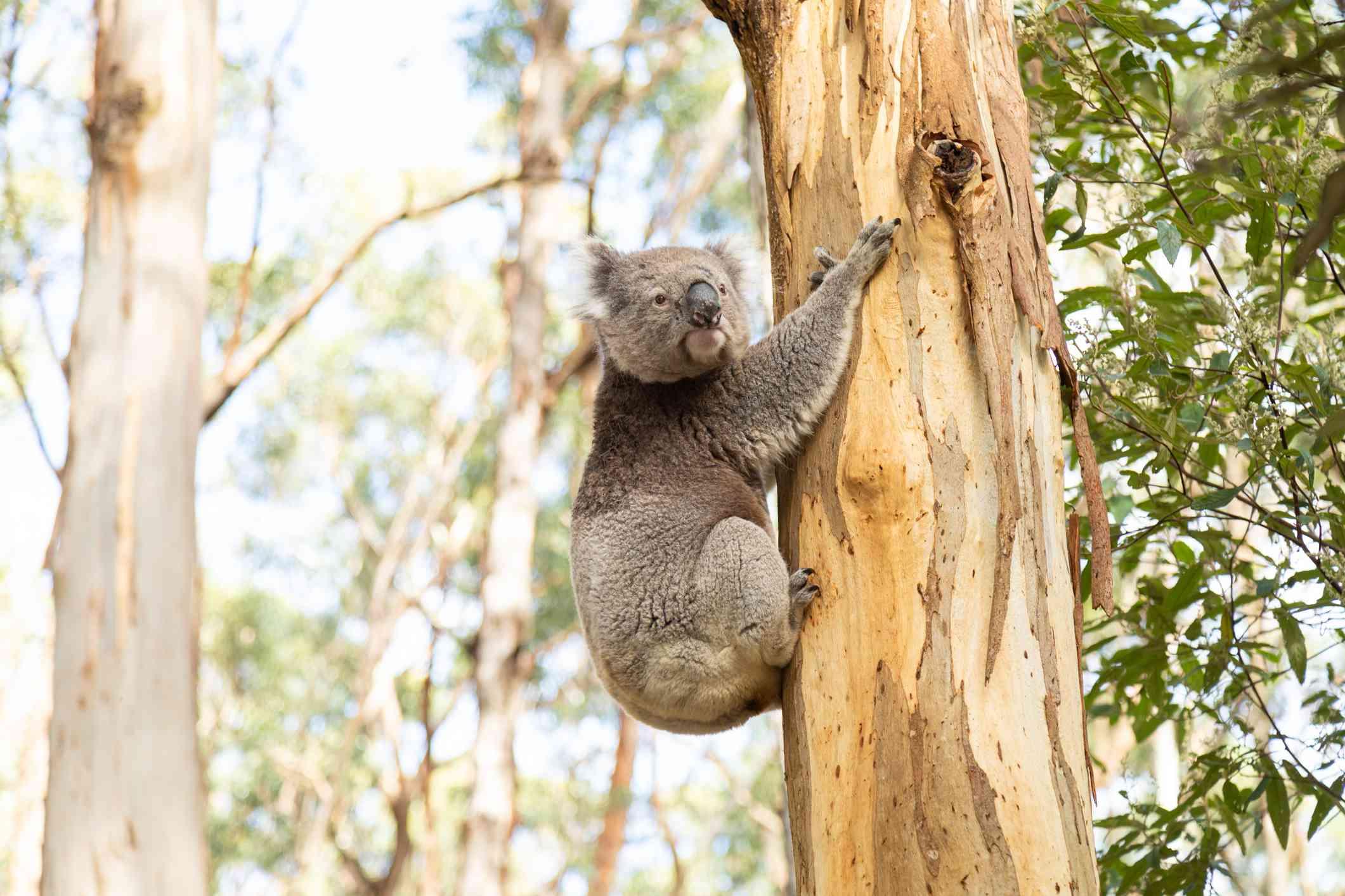 Koala holding onto a eucalyptus tree