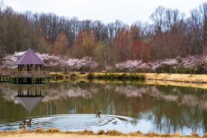 View of cherry blossoms
