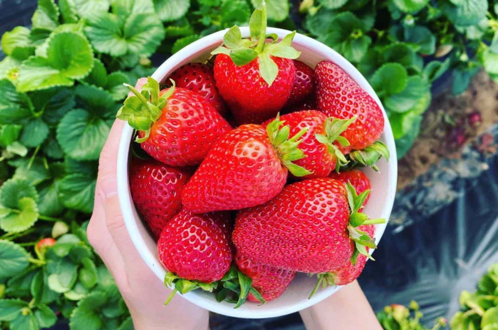 U-pick strawberries in Carlsbad
