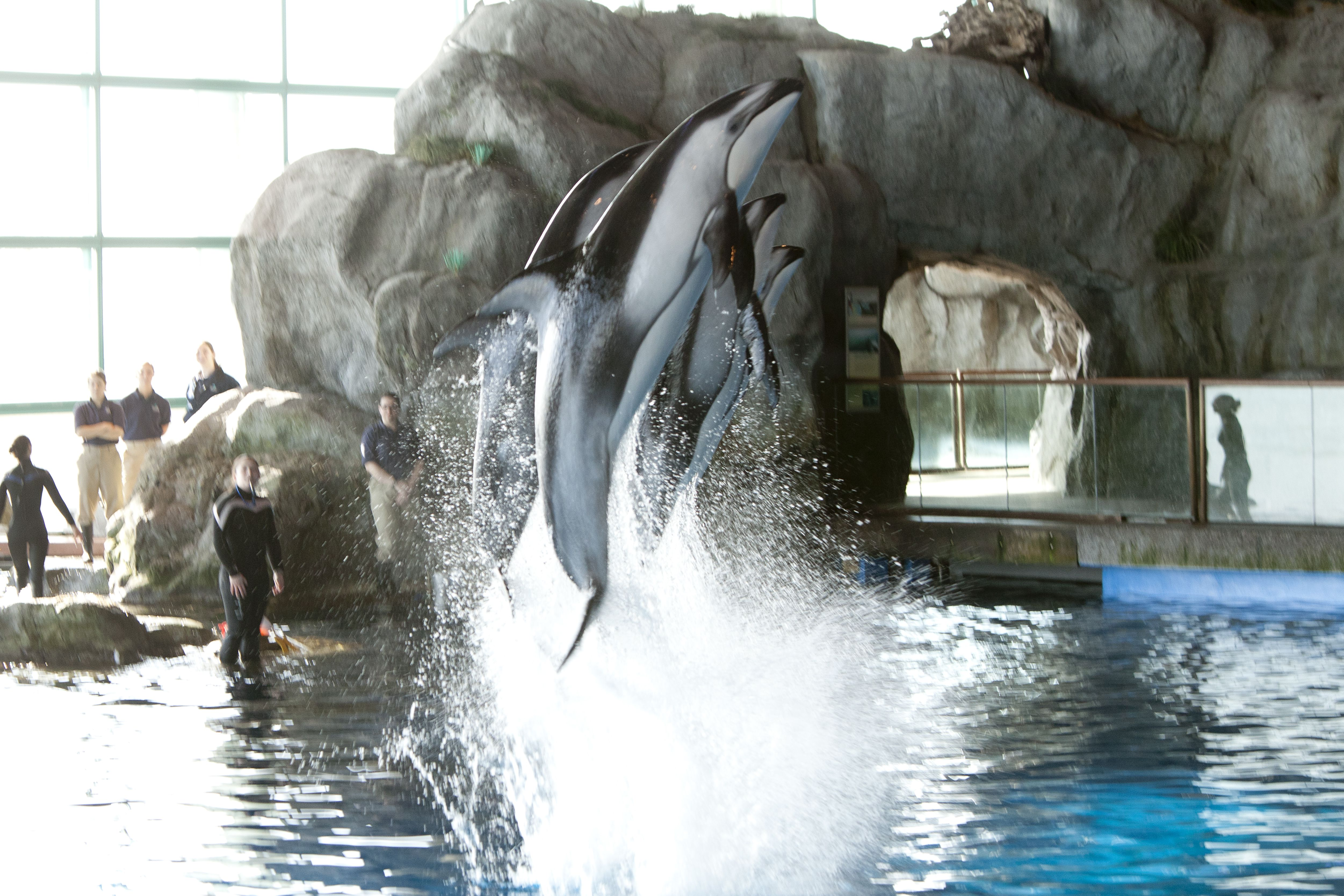 dolphins jumping out of the water
