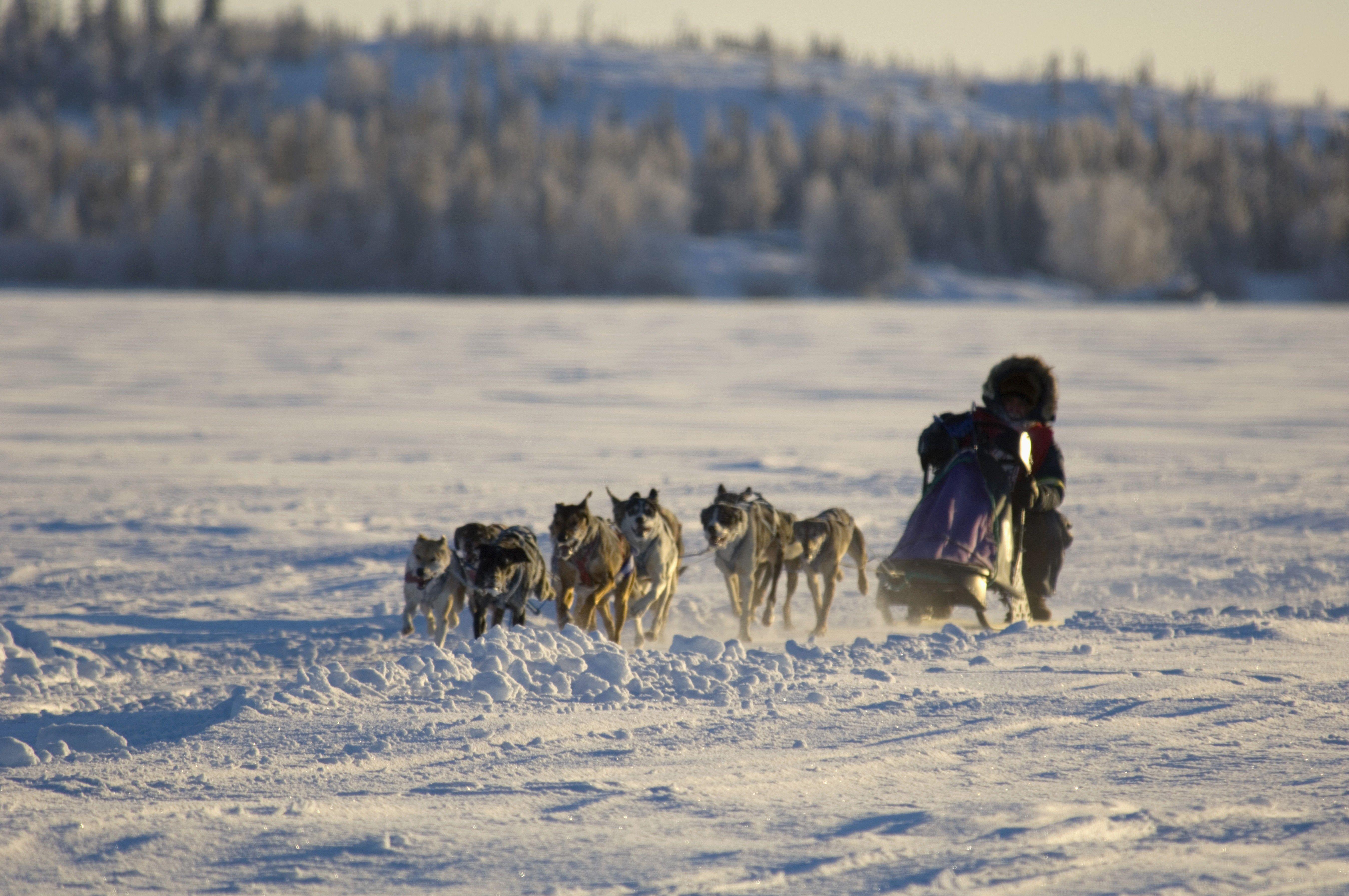 Dogsledding in Yellow, Kanada