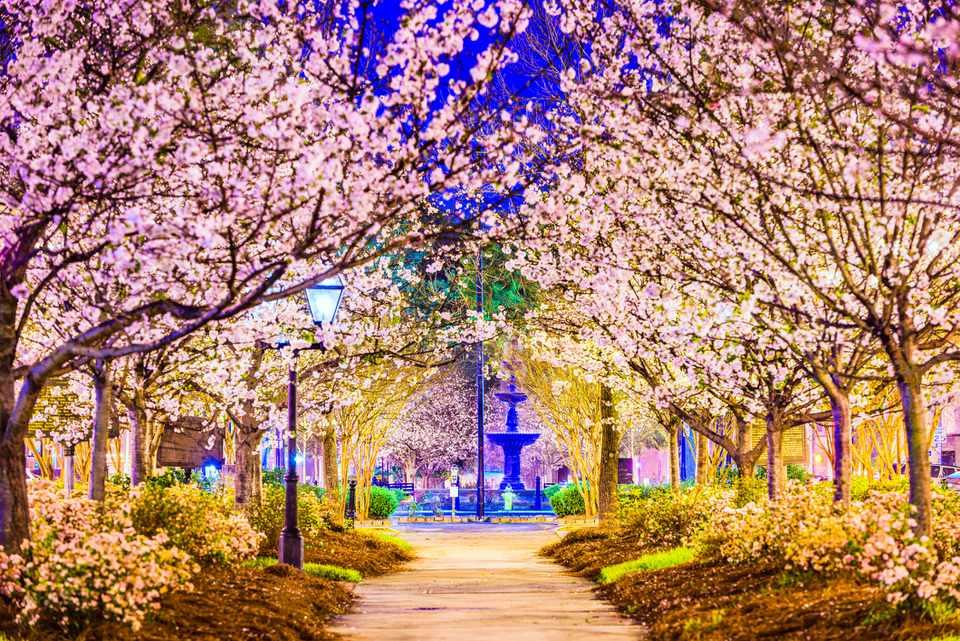 Macon Georgia Cherry Blossoms