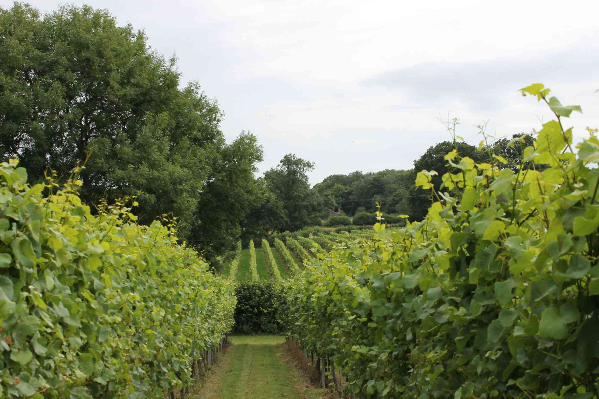 Rows of green grapevines in England