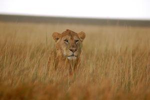 A lion on the Serengeti