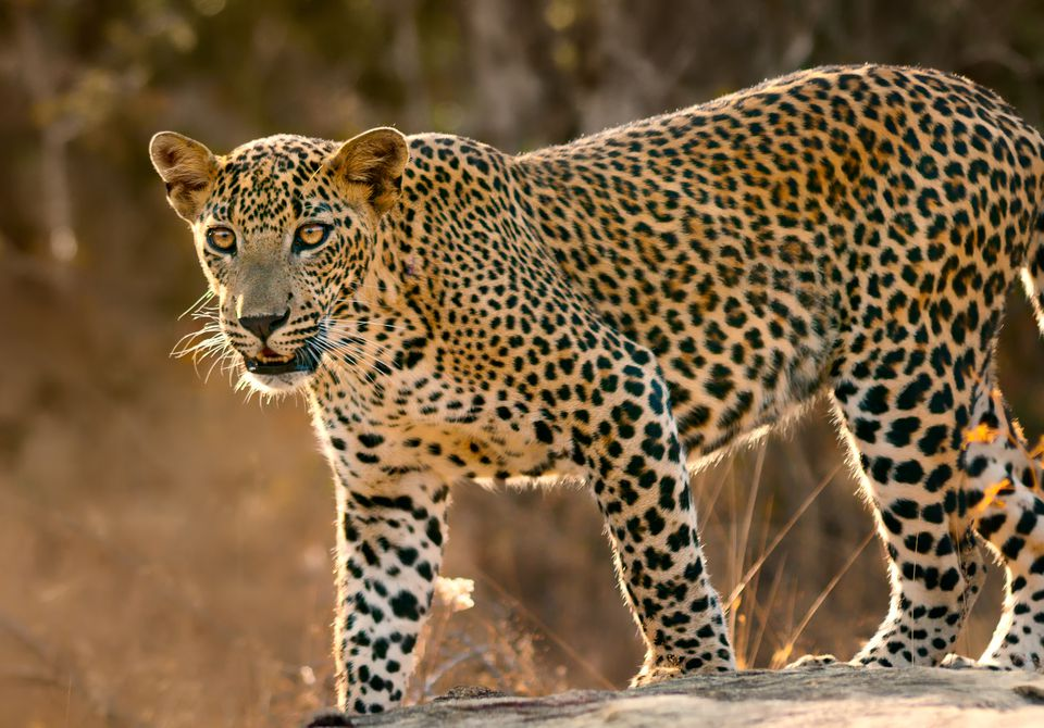 A leopard spotted on safari in Sri Lanka
