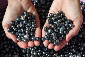 Tahitian black cultured loose pearls in hands