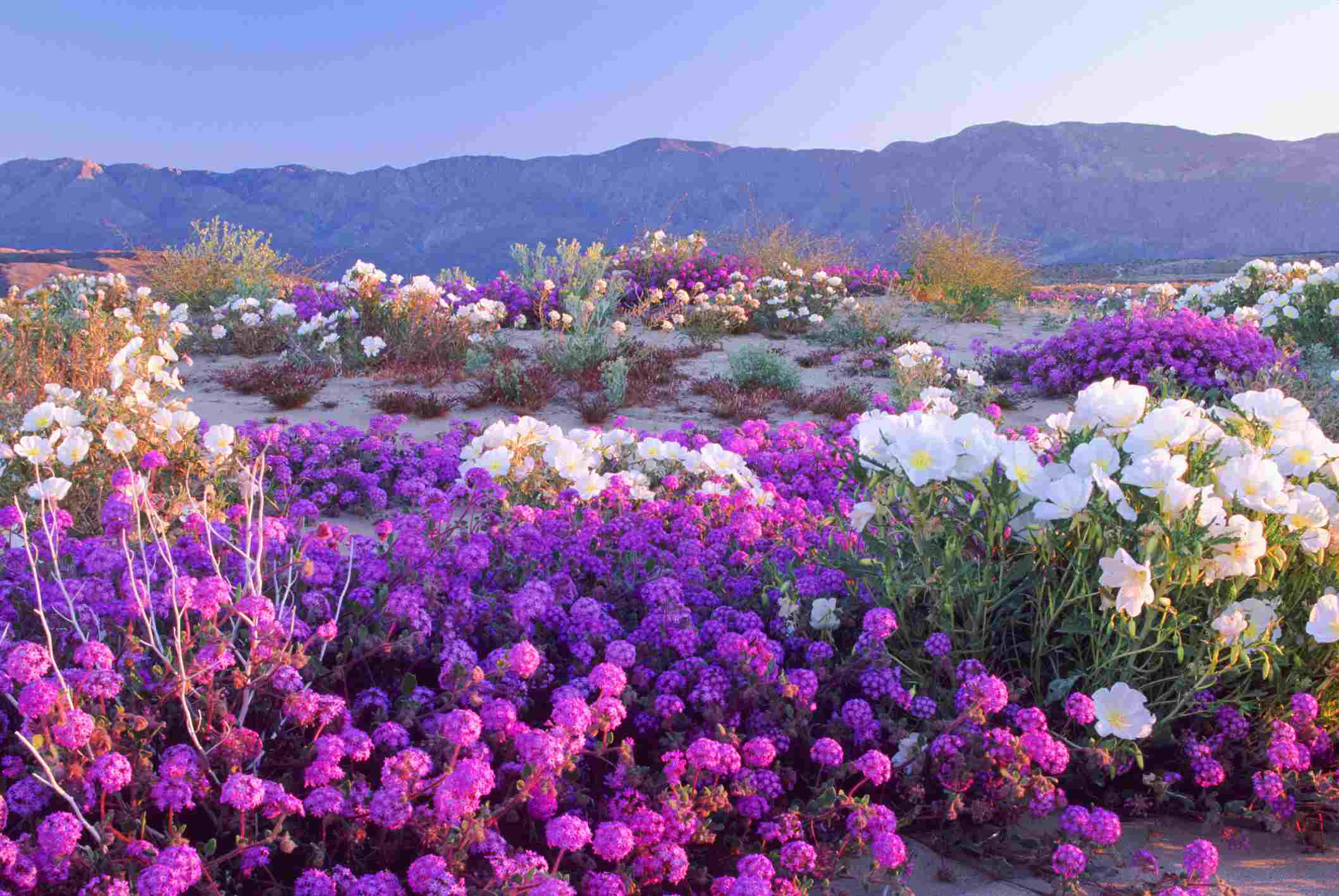 Now Lilacs Are Blooming In March >> How And Where To See California Wildflowers In Bloom