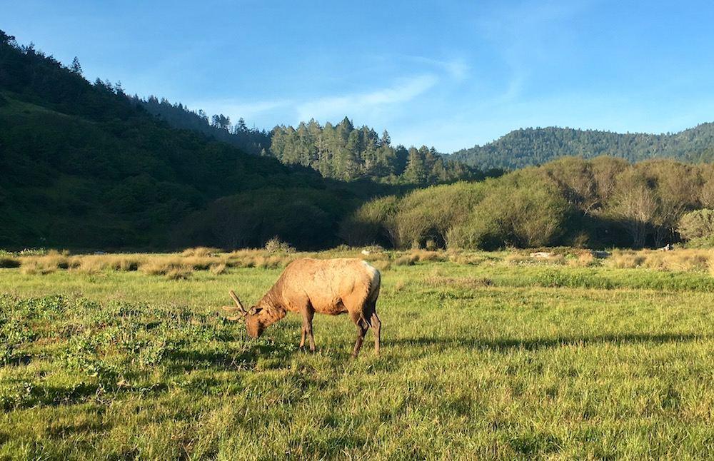 Lost Coast Trail Elk