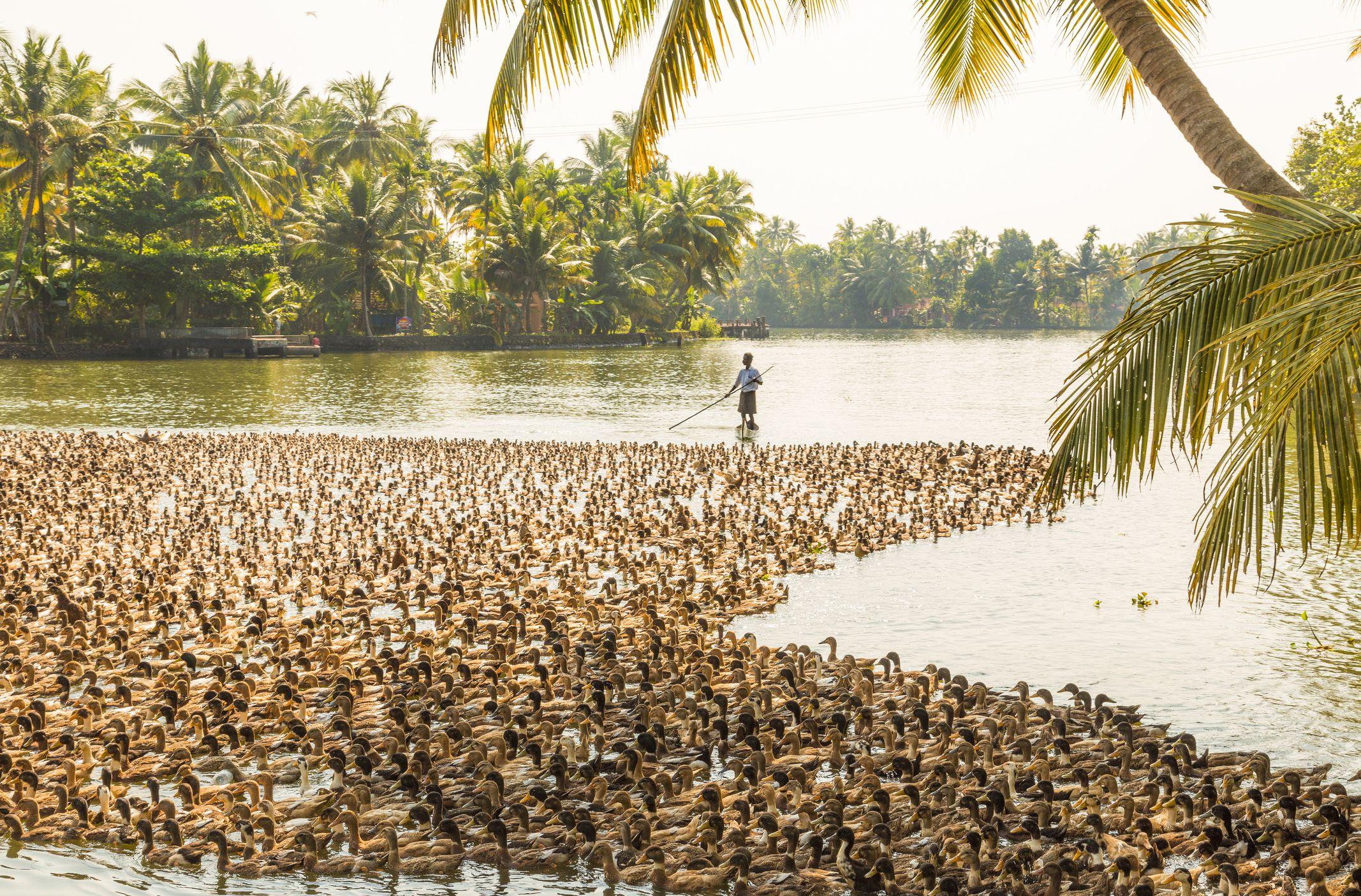 Kerala herding ducks.
