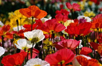 4 flower festivals worth a visit in australia if you love flowers youll surely love floriade mightylinksfo