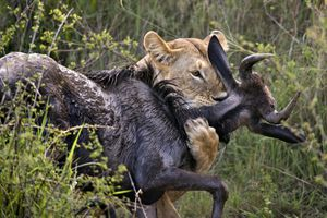 Lioness killing a wildebeest in the Maasai Mara, Kenya