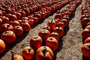 Rows of Pumpkins at a farm in Canyon Country