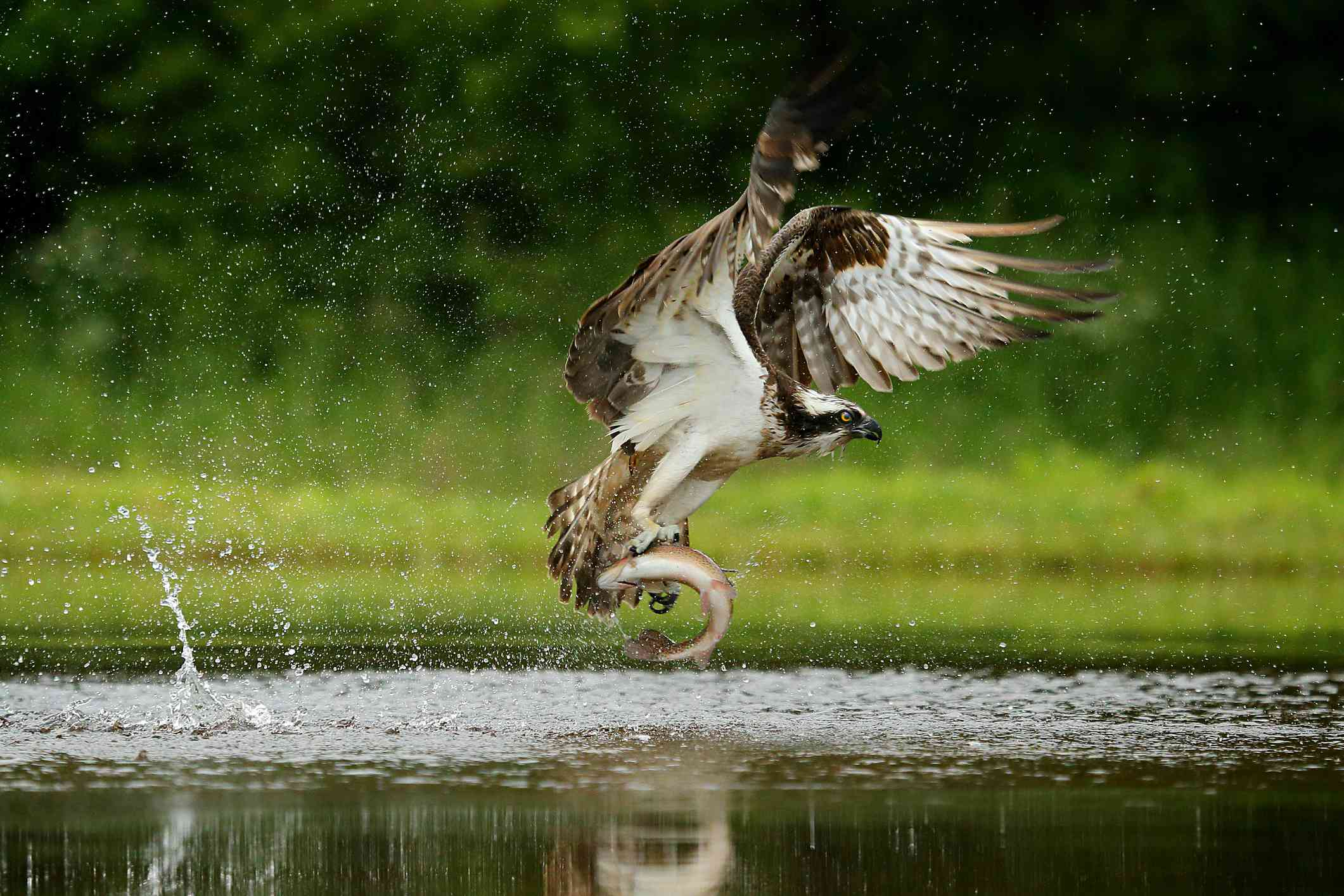 Osprey catching a trout, UK