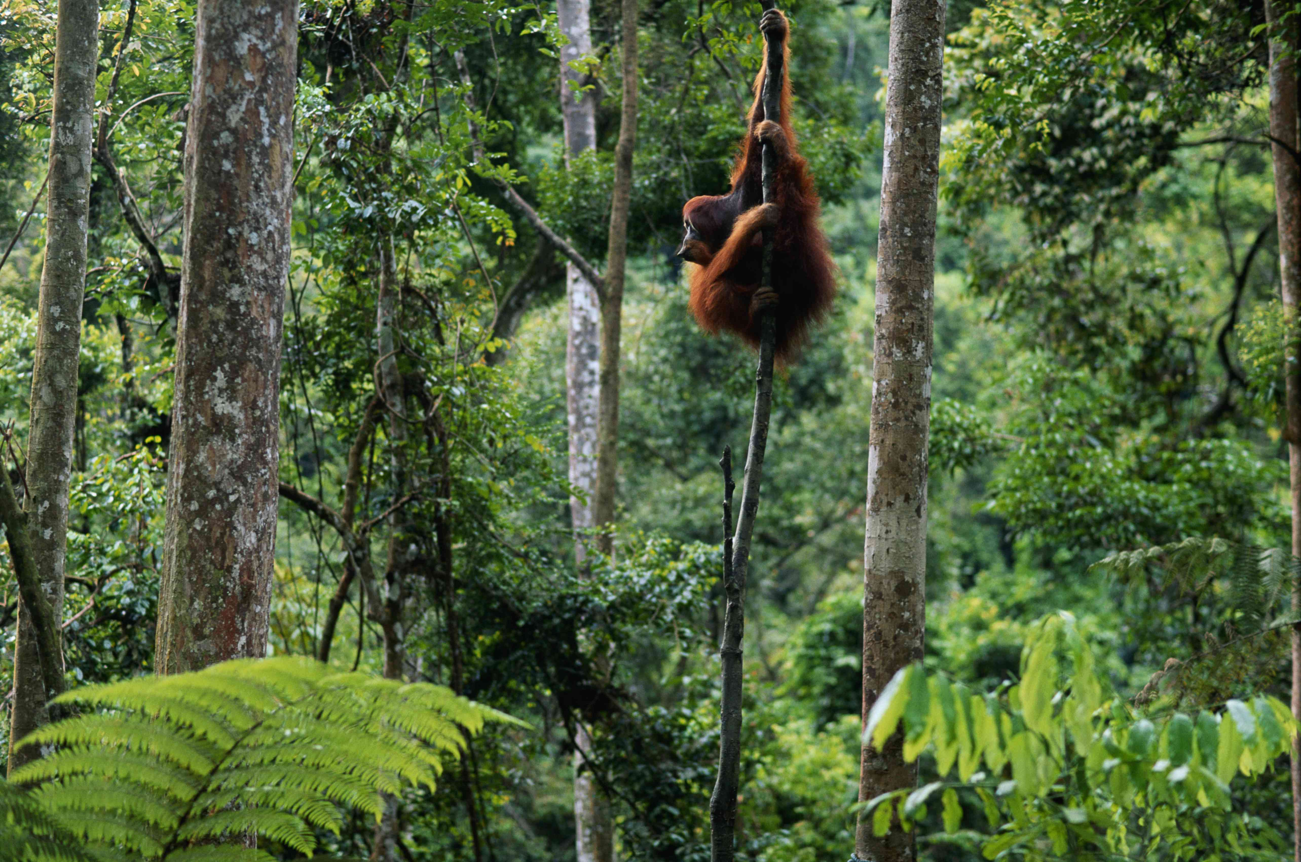 Orangutan hanging from a branch in an Indonesian forest