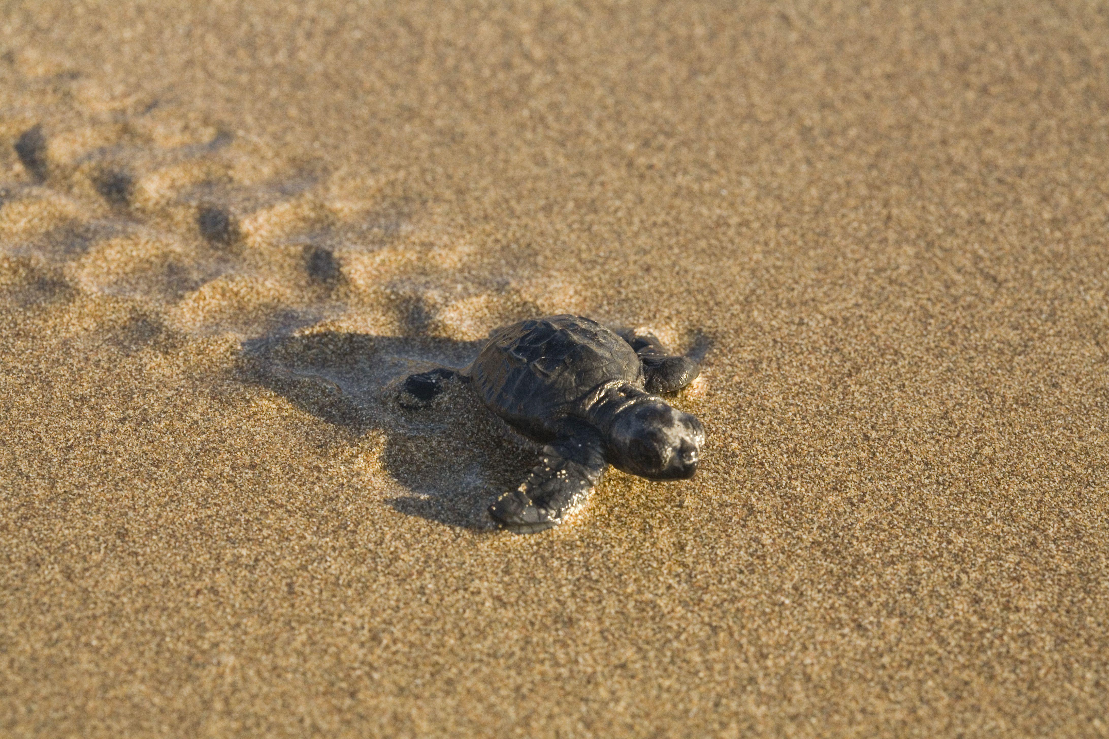 Baby Loggerhead Sea Turtle, Caretta caretta, running from its nest to the sea, turtle project, Lara Beach, Akamas, Cyprus