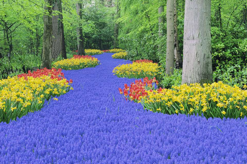 grape hyacinth and narcissus blooms at keukenhof gardens - Tulip Garden Near Me