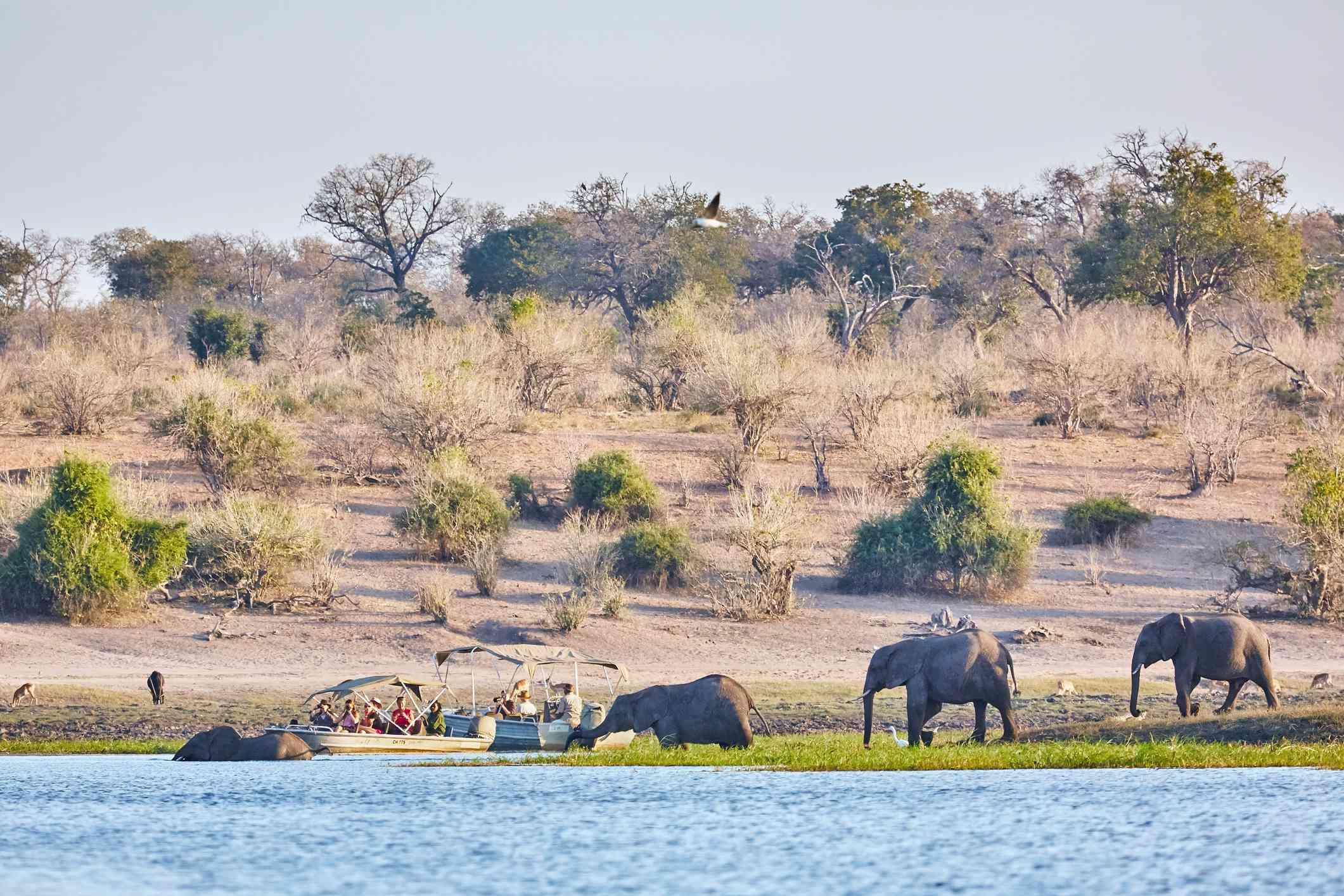 Elephants approach a river safari boat on the Chobe River, Botswana