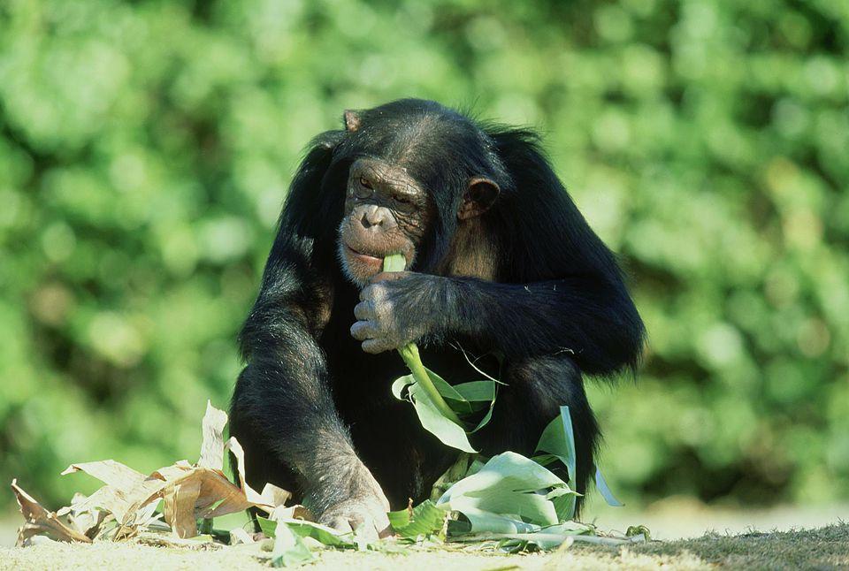 Chimpancé, Miami Metrozoo, Florida