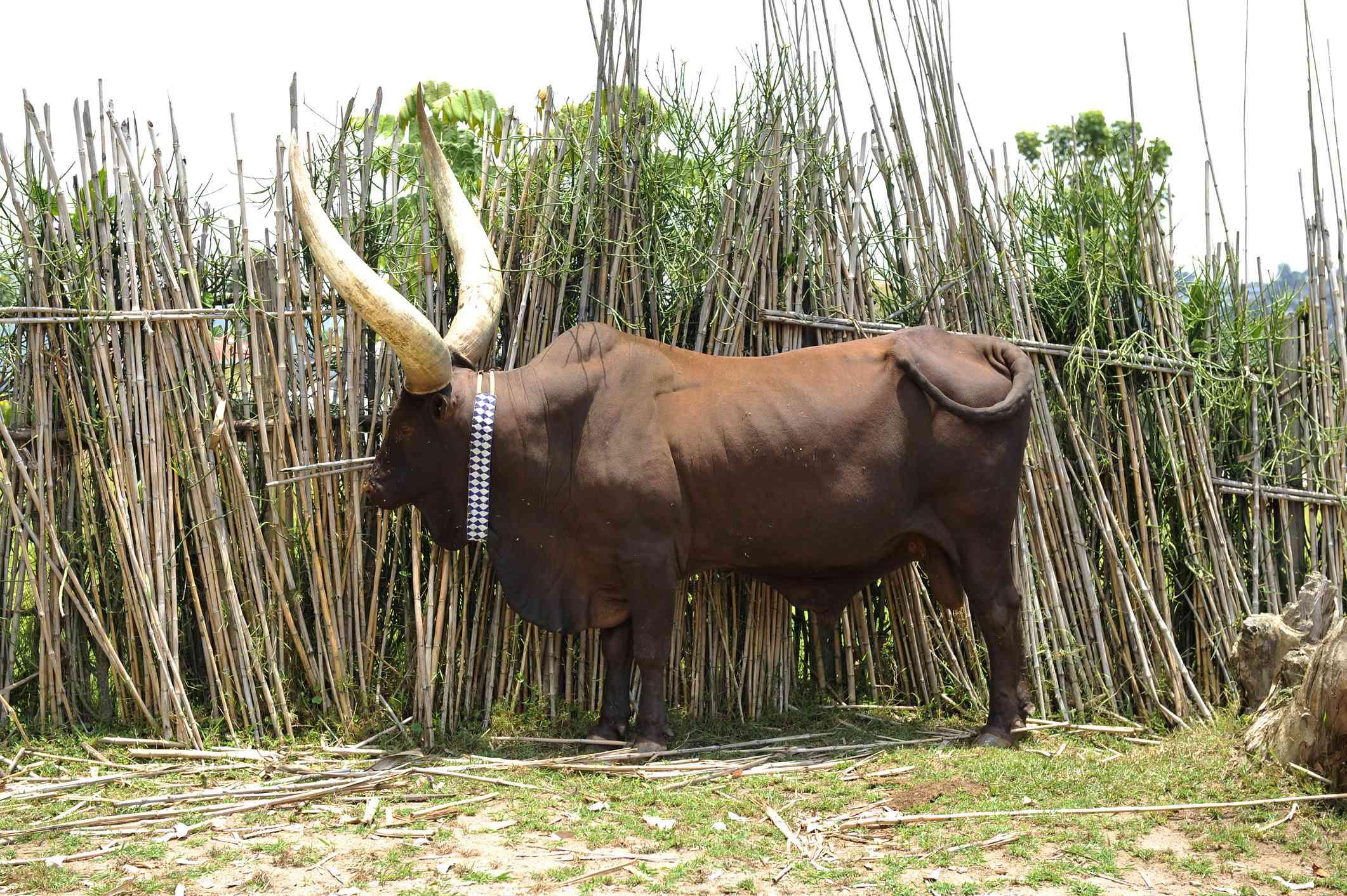 Royal cow in Rwanda