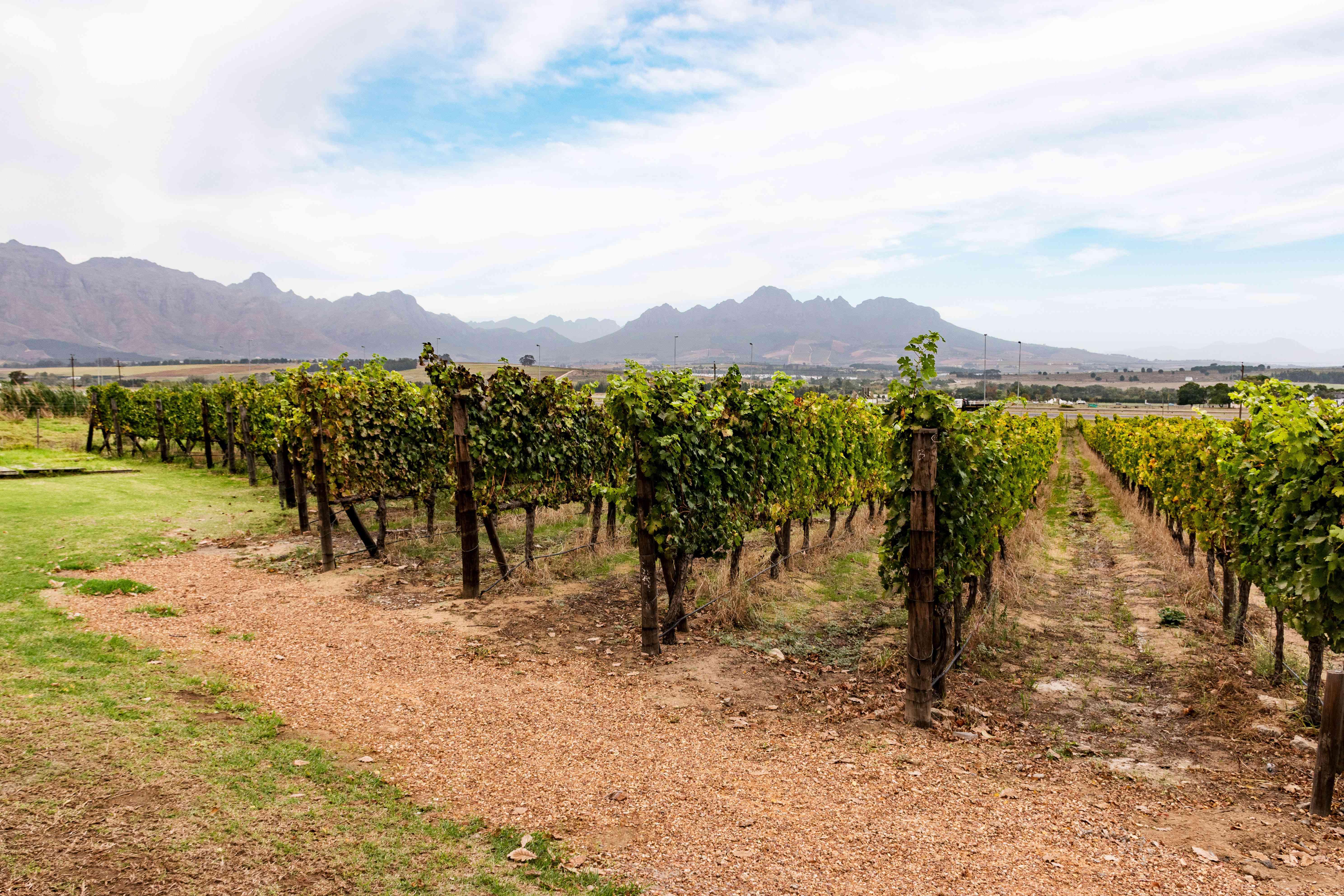 A stellenbosch vineyard