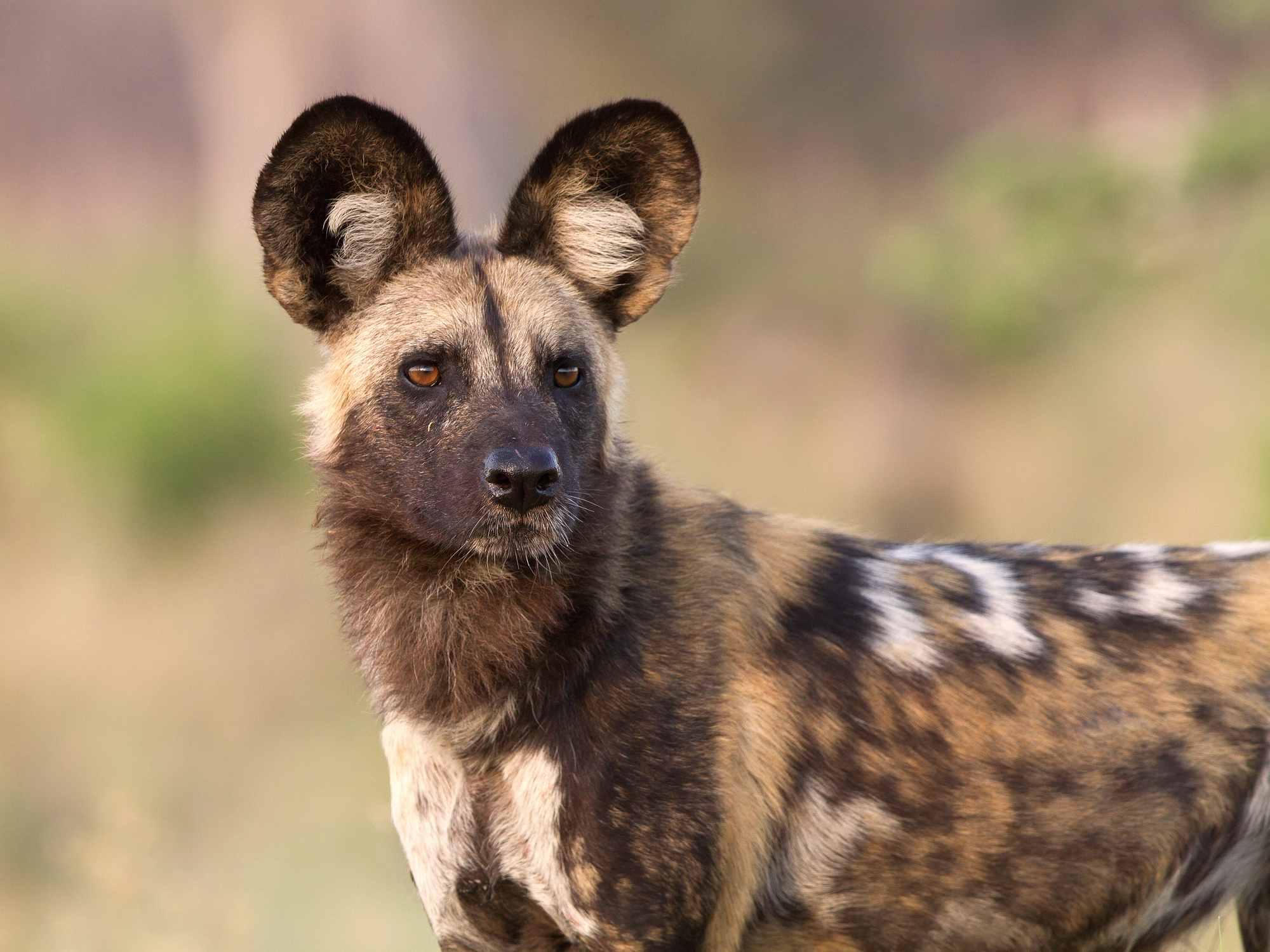 Retrato de un perro salvaje africano
